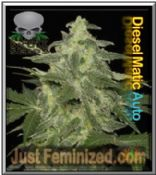 Black Skull Auto Diesel Matic Feminized marijuana Seeds for sale
